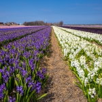 Blumenfeld_Holland