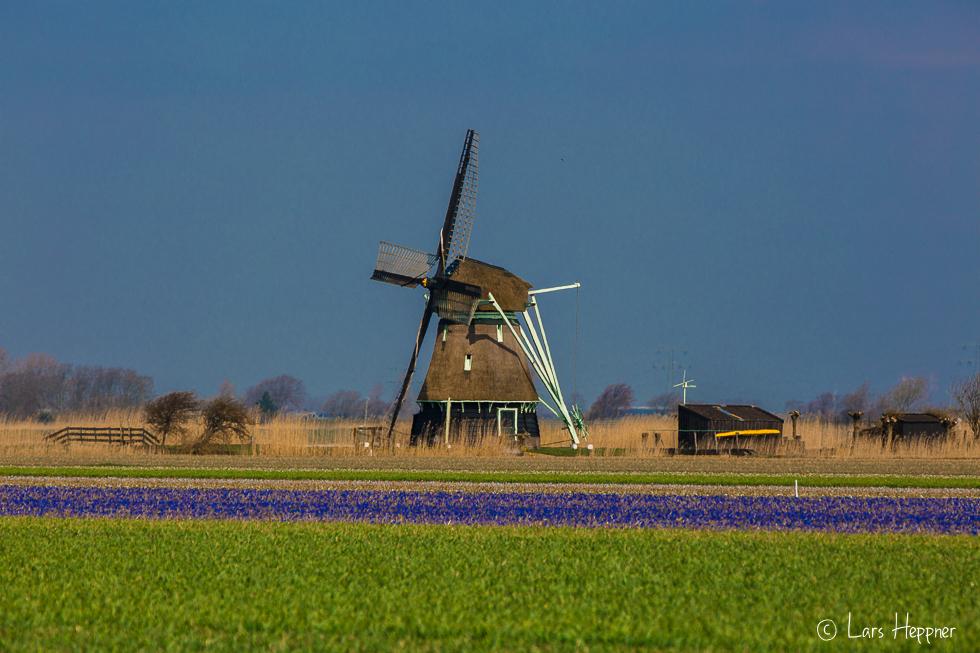 Blumenfeld in Holland