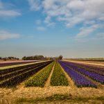 Hyazinthenfeld_Holland