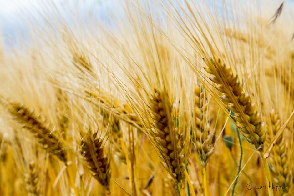 Weizenkornfeld im Loire-Tal