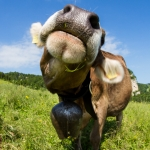 Schweizer Kuh Fisheye