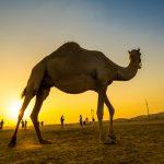 Kamel in der Abendsonne